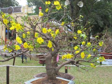 Những điều cần chăm sóc cho hoa mai tết năm nhuần