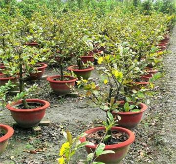 Thành phần chất trồng qua từng giai đoạn của hoa mai tết