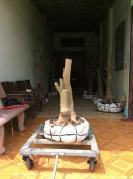 Gốc mai vàng bonsai hoành 48 cm cao 0,6 m