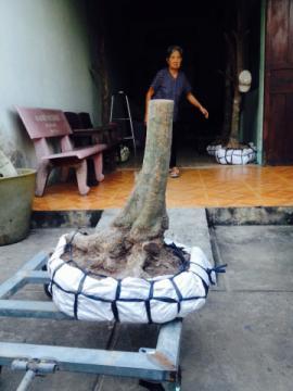 Gốc mai vàng bonsai hoành 55 cm cao 0,6 m