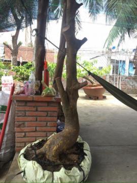 Gốc mai vàng bonsai hình thú hoành 45 cm, cao 1m