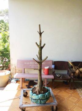 Gốc mai vàng chân cành đều đế đẹp hoành 40 cm cao 1,4 m