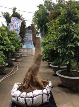 Gốc mai vàng bonsai hoành 46 cm cao 0,8 m