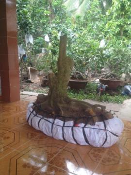 Gốc mai vàng bonsai hình thú hoành 63 cm, cao 0.8m, bộ đế trải dài 1.2m