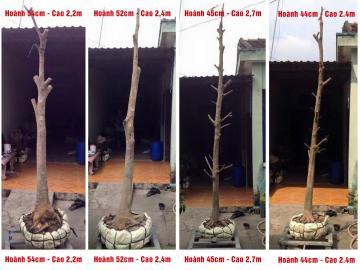 Lô 4 gốc mai vàng dáng trực hoành từ 44 cm đến 54 cm