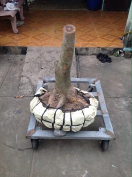Gốc mai vàng bonsai đề đẹp hoành 42 cm cao 0,6 m 24/11/2015