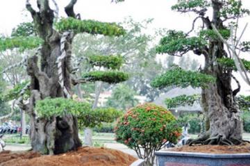 Chiêm ngưỡng cây khế hàng trăm tuổi bạc tỷ