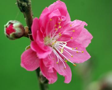 Công dụng chữa bệnh của hoa mai tết và hoa đào