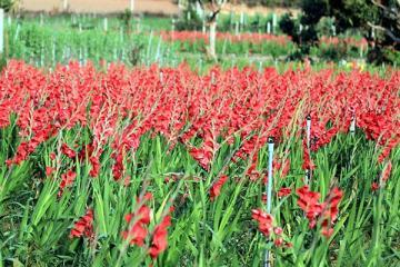 Sau Tết, hoa lay ơn bị bỏ mặc ngoài đồng