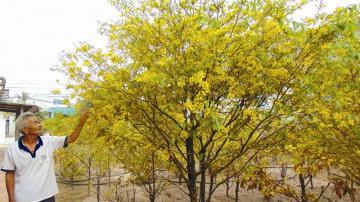 Thăm làng hoa mai tết rừng Bến Kéo