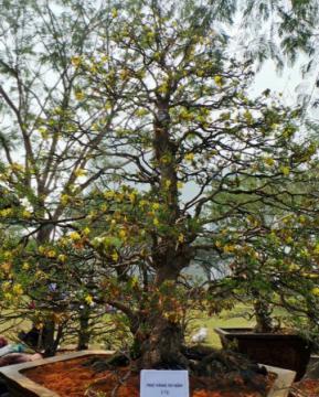 Chiêm ngưỡng cây hoa mai tết rễ xoắn vắt áo 99 tuổi