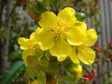 Hoa mai tết phong cách chơi hoa kiếng của người xưa