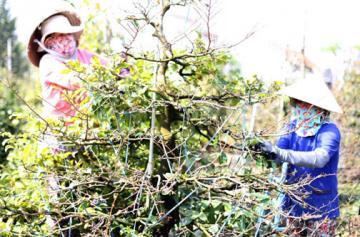 Hoa Phú Yên vào mùa bán Tết