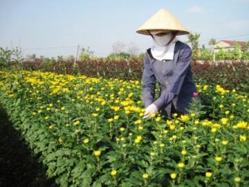 Sương muối đe dọa mùa hoa tết tại Thanh Hóa