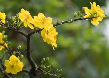 Hội thảo Giải pháp xử lý mai vàng ra hoa đúng tết