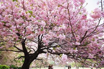Ngắm mùa hoa anh đào ở Nhật