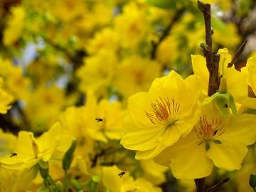 Nông dân thị xã Dĩ An được tập huấn chăm sóc hoa mai tết