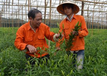 Tết trồng hoa Lily thu tiền tỉ