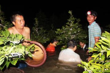 Hơn 1.000 cây mai ở phường Hiệp Bình Chánh Thủ Đức đã chìm trong nước