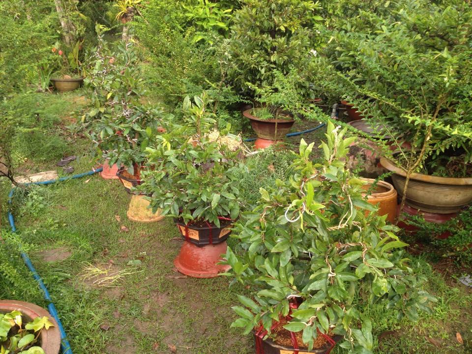 Mai vàng tết được nhà vườn lựa chọn kỹ càng trước khi xuất vườn tung ra thị trường