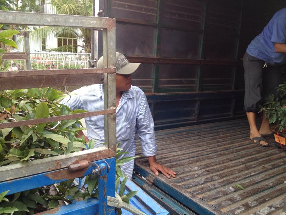 Hoa Mai tết được vận chuyển từ các xe kéo nhỏ