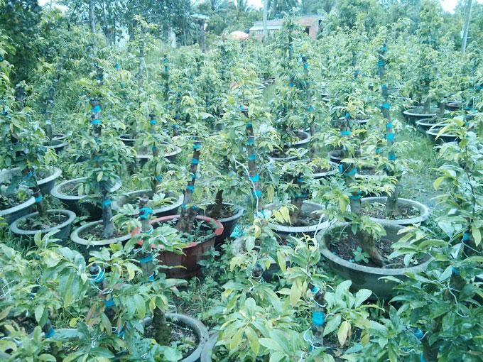Mai gốc ghép tại vườn Giá 2 triệu/cây/năm