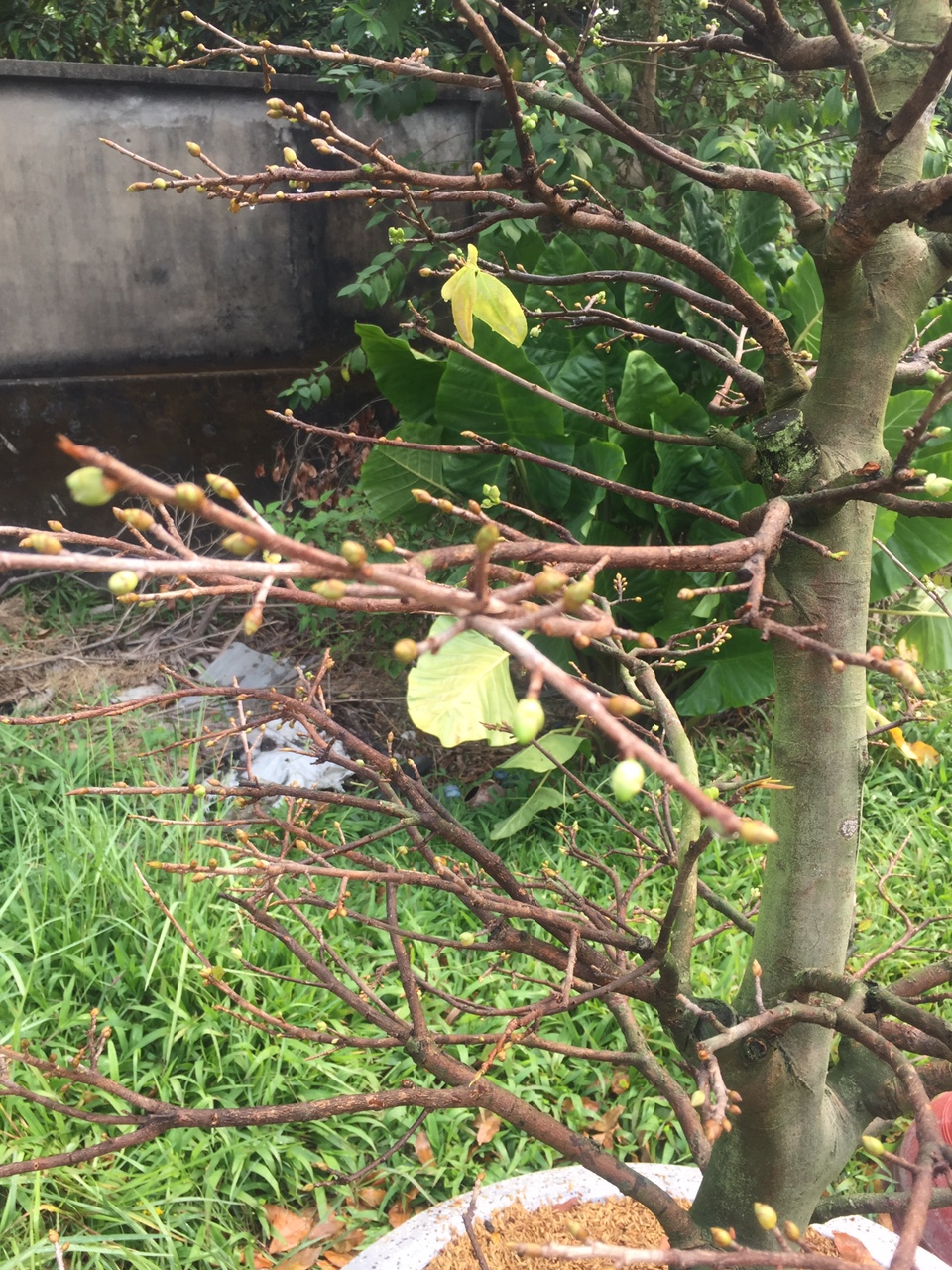 Mai vàng ghép 3,5 mùa - Hoành 38cm - Cao 1,6m - Số 15 - Lặt lá