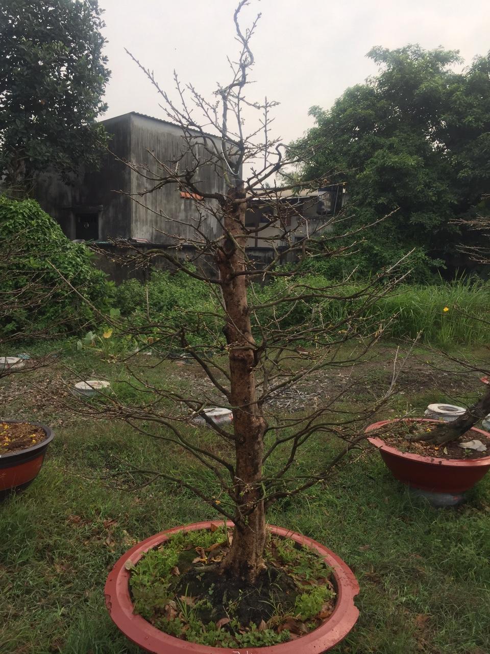 Mai vàng ghép 5 mùa - Hoành 46cm - Cao 2,2m - Số 74 - Lặt lá