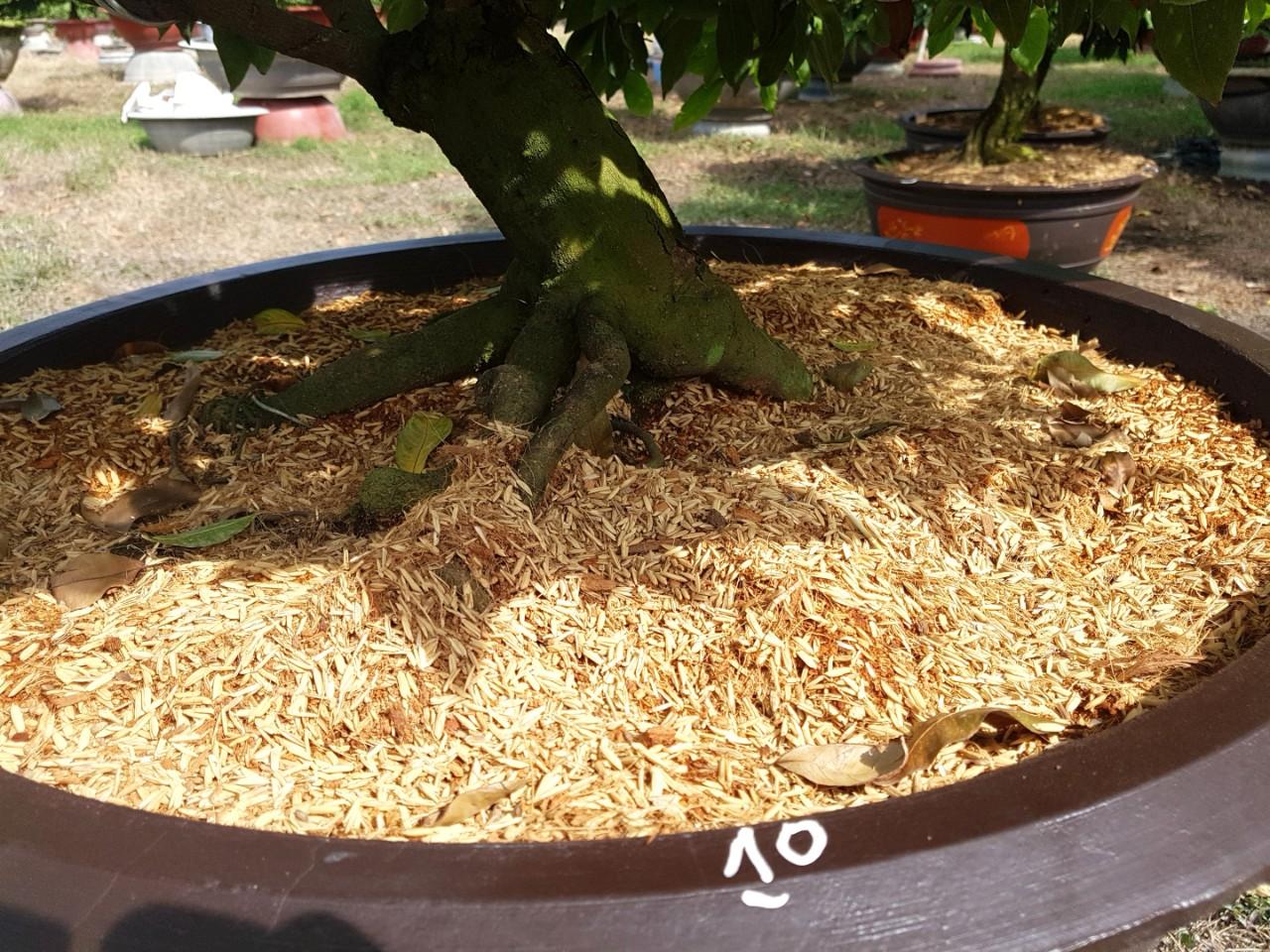 Mai vàng ghép 4,5 mùa - Hoành 30cm - Cao 1,4m - Số 10