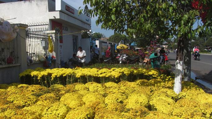 Chợ hoa Phan Thiết trầm lắng ngày tết, hoa mai tết, hoa mai tet, chăm sóc mai , cham soc mai
