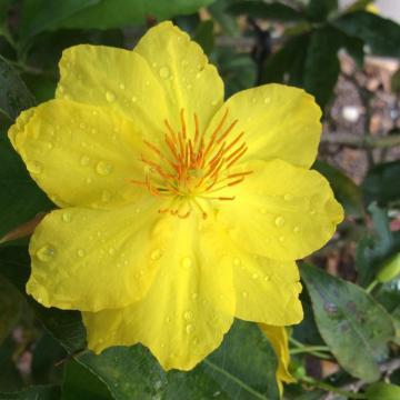 Cách chăm sóc mai hạn chế hoa nở sớm