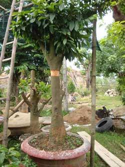 Kỹ thuật chiết cây mai lớn