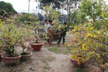 Nhà vườn bận rộn chăm hoa mai tết sau tết
