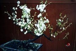 Kỷ niệm từ chậu hoa mai quý