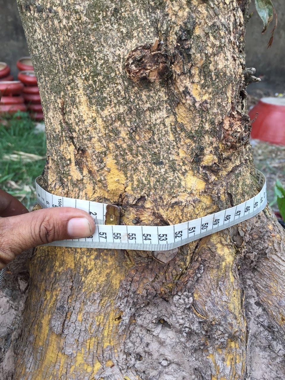 Gốc mai vàng chân cành điều, đế nở hoành 56 cm cao 1,6 m