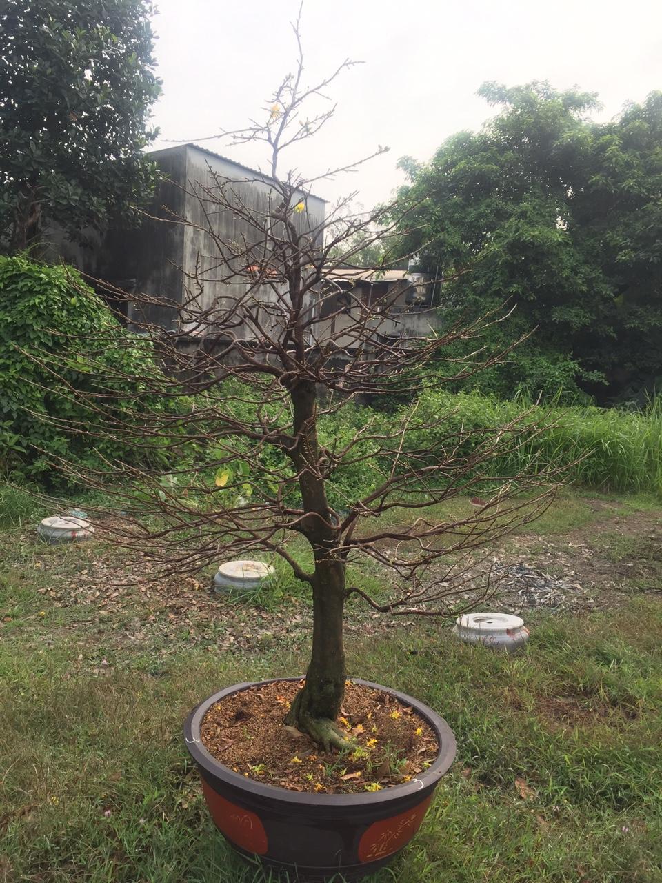 Mai vàng ghép Giảo Phú Tân 3 mùa - Số 2 - Lặt lá