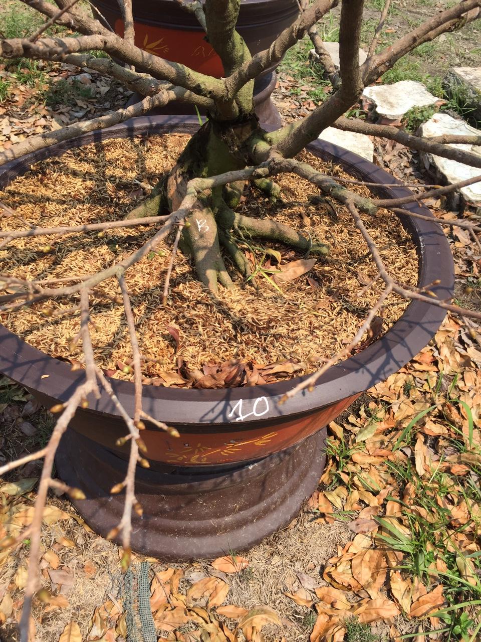 Mai vàng ghép 4,5 mùa - Hoành 30cm - Cao 1,4m - Số 10 - Lặt lá